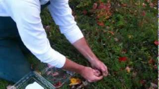 Harvesting and Weighing Cranberries.MPG