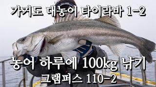 [꿈의필드] 가거도 농어 타이라바 - 하루에 100kg…