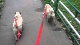 Мопсы на прогулке. Выпадают ли глаза от ошейника, сложно ли с двумя собаками