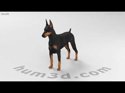 Doberman Pinscher HD 3D model by Hum3D.com
