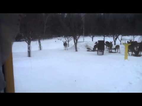 Wild turkey and deer feeding.