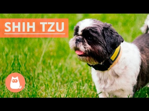 All About the SHIH TZU - Traits and History!