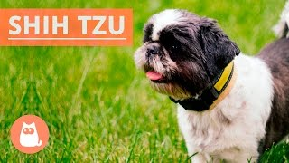All About the SHIH TZU  Traits and History!