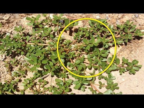 اذا رأيت هذه النبتة في حديقة منزلك لا تحاول قطعها أبداً , شاهد السبب  - نشر قبل 2 ساعة