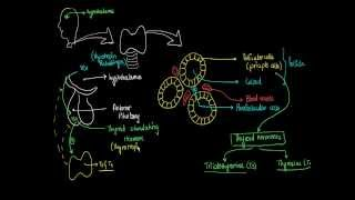 3 - Thyroid Glands : Hormones Physiology