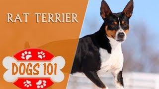 Dogs 101 - RAT TERRIER - Top Dog Facts About the RAT TERRIER