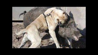 カンガルー犬は、大型で強力なヘビー・ボン・ドッグで、肉食動物に対す...