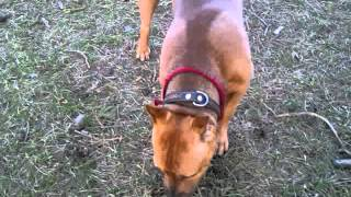 Pitbull Dogs Do Not Like To Bark On Command. Need To Know The Tricks.