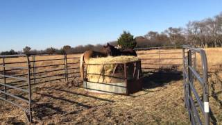 New Winter Hay For Horses - Slow Introduction - Blocking Off Round Bales