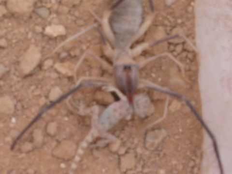 Lizards Eat Spiders Ufc Camel Spider vs Lizard