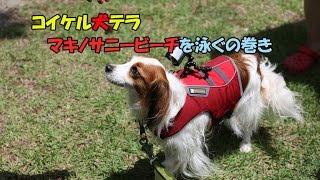 犬達と琵琶湖(マキノサニービーチ)でBBQ。コイケル、ボーダー、Eコッカ...