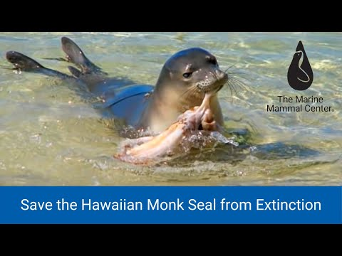 Save the Hawaiian Monk Seal from Extinction