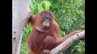 Rescued orangutan released back into the wild after 3 years.