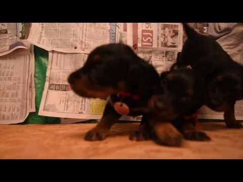 Gordon Setter female puppies May 10