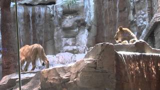 Las Vegas Lions in MGM grand