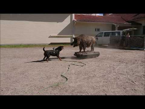Rottweiler wild boar test