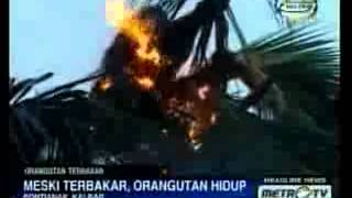 Residents Pontianak, Indonesia orangutans burn to death ..! while an orangutan is an ape-protected .