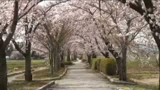 まほろば緑道(1) サイクリングロードと桜並木