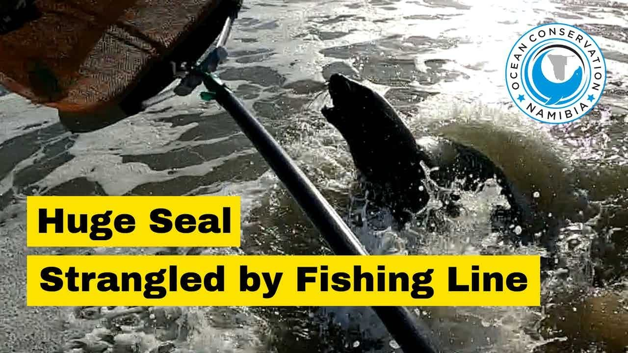 Huge Seal Choked by 50m long fishing line