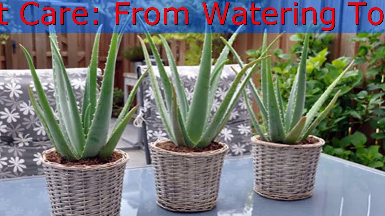 how to re pot aloe plants aloe vera plant care from watering to repotting youtube. Black Bedroom Furniture Sets. Home Design Ideas