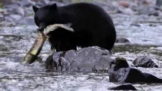 Incredible fight! Black Bear hunts for fish
