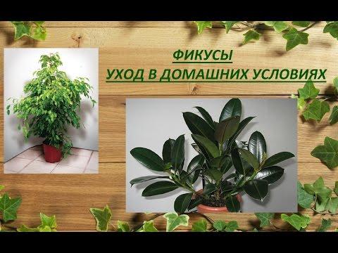 Фикус каучуконосный Ficus elastica фото, условия