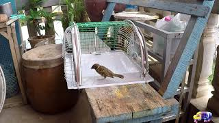 How to make bird trap at home - Amazing quick bird trap - Electric fan guard bird trap! 61