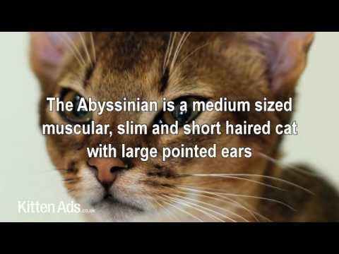 Kittenads breed guide to Abyssinian