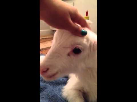 Bottle Feeding The New Lamb