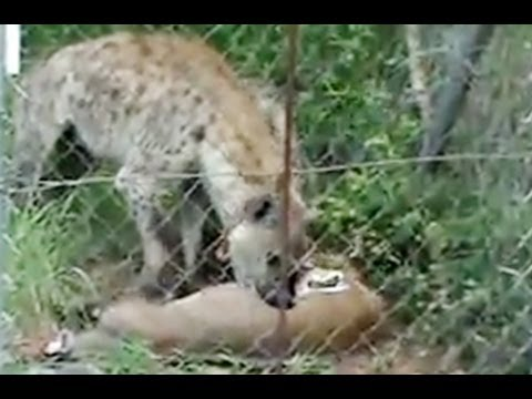 Hyena Eating Bushbuck At Skukuza Fence - Latest Sightings