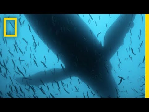 video:Sea of Shadows Official Trailer | National Geographic