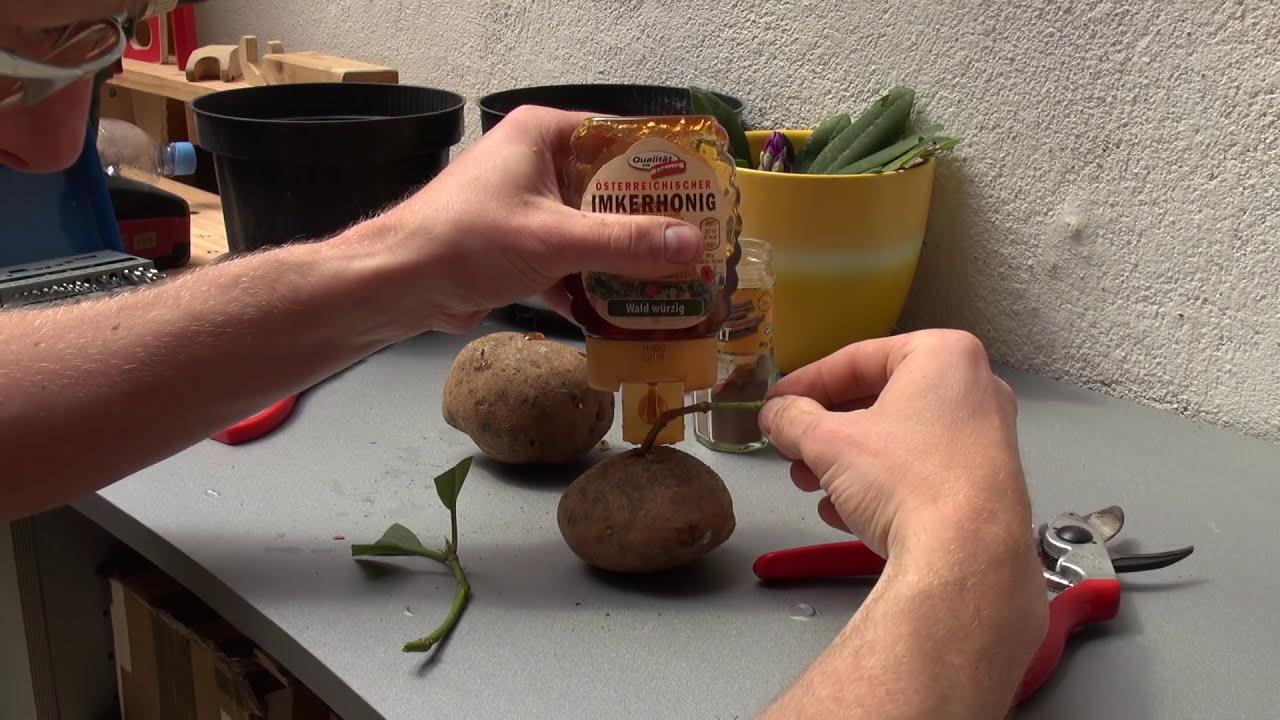 Steckling In Kartoffel