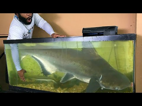 Catching NEW PET FISH for AQUARIUM! What Type of Catfish Is This?