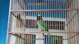 Takur Burung Langka Ngamuk Dan Bunyi Gacor