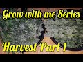 NORTHERN LIGHTS HARVEST PART 1/3 - GROW WITH ME SERIES