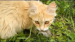 Котята сами охотятся на мышей