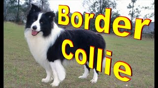 Border Collie Dog Breed Info.  How to Choose Dogs