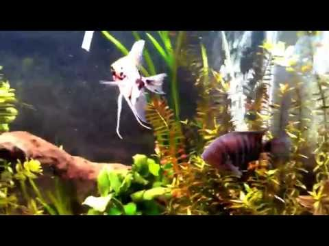 Angelfish And Male Convict Cichlid Feasting On Blackworms