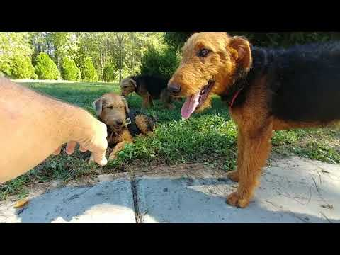 Sitting In Driveway With  Older Airedale Terrier Puppies Puppy For Sale On October 12, 2018