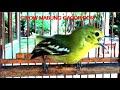 Burung Cipoh Gacor Full Variasi  Saat Mabung Sirtu Cipow Super Ribut Ngotot  Mp3 - Mp4 Download