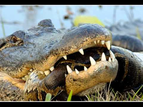 PYTHON vs. CROCODILE : Who Won ? (GRAPHIC) (PICS)