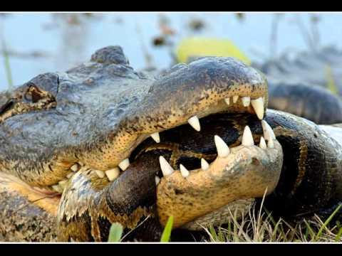 PYTHON vs. CROCODILE : Who Won ? (GRAPHIC) (PICS) - YouTube