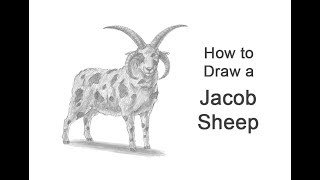 How to Draw a Jacob Sheep