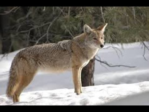 Coyote Calling Sounds