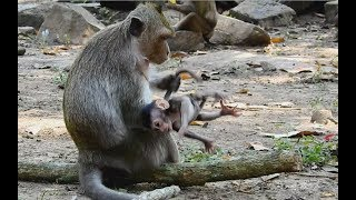 Sasha Skill Steal Baby monkey and do Bad on her Baby-Part 2 to be continue/Wild monkey