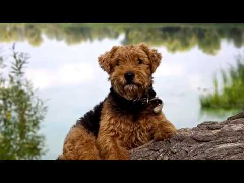 Welsh Terrier. Excellent dog