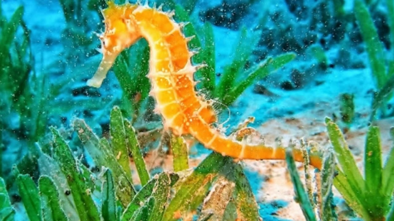 Seahorse Facts Interesting Facts about Seahorse Facts ...