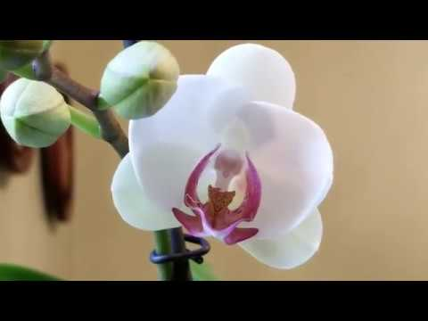 Orchids I've been fertilizing in bud and bloom, and the fertilizer recipe.