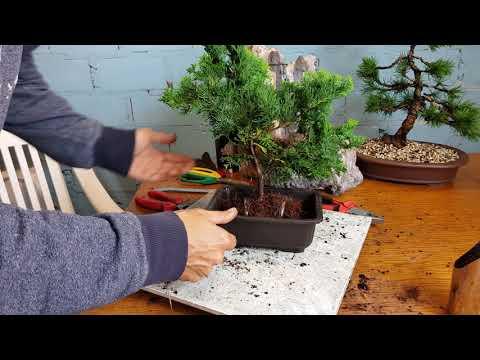 Ganz und zu Extrem Eine Muschelzypresse wird zum Bonsai, Erstgestaltung - YouTube #XG_75