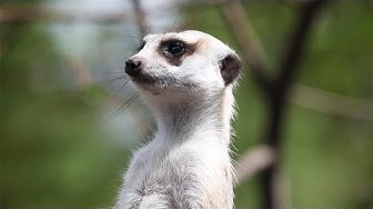 MEERKAT on guard duty at Melbourne zoo - Australia